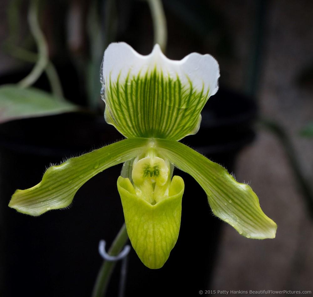 Paphiopedilum Orchids Beautiful Flower Pictures Blog