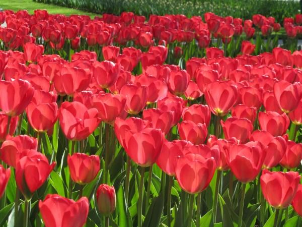 Inspiring Kuekenhof Gardens Tulips