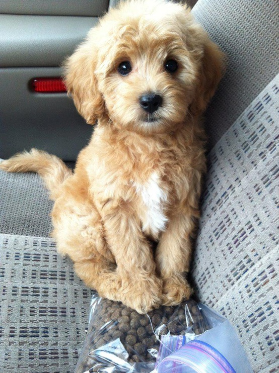 pick me up labradoodle