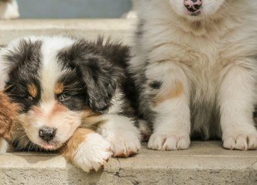 Cute Labrador Puppies Wallpapers Deze Honden Blijven Altijd Zo Klein Als Een Puppy En Daar