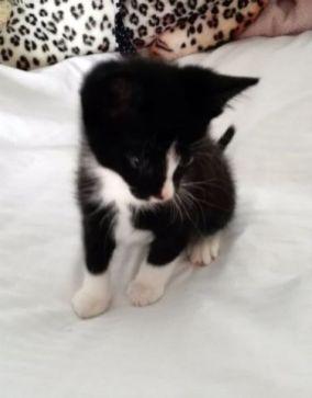 Toulouse kitten