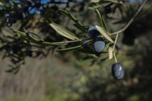 foglia d'olivo