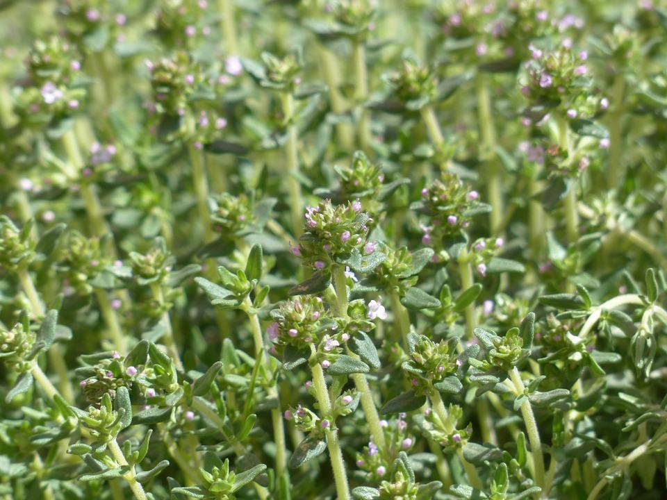 Want a Natural DIY Dandruff Remedy? Thyme