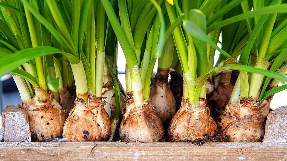 Flower Bulbs Daffodils for Best Time to Plant Bulbs for  Spring Flowers