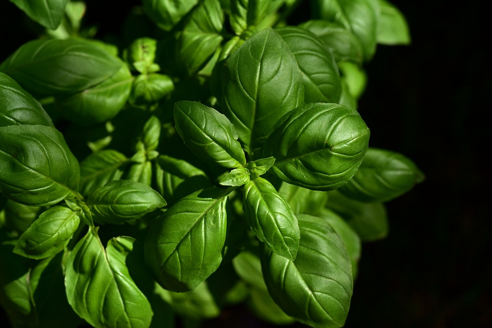 9 Powerful Herbs for Cooking, Health and Beauty Basil Pixabay Image