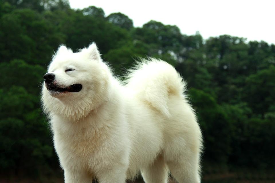 Awkward Situations and Fixes Samoyed Dog