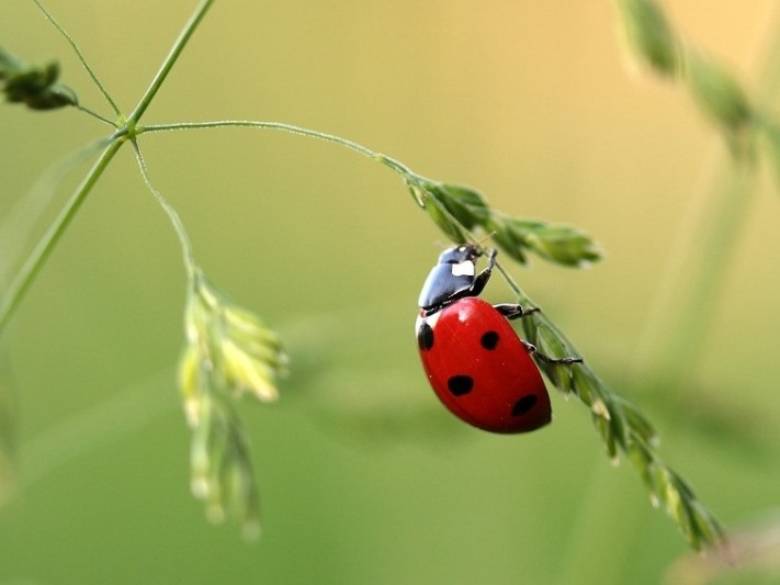 Garden visitors you want around to control insects, the ladybug.