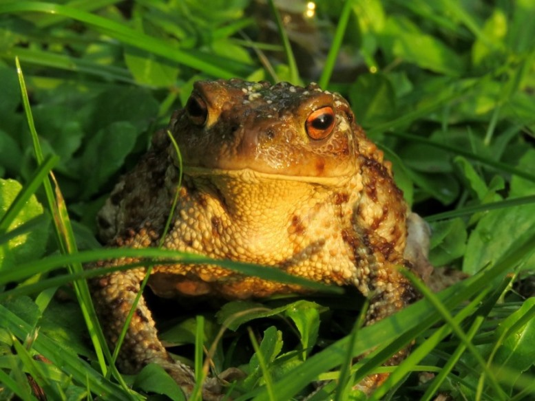 toad, a garden visitor to control insects