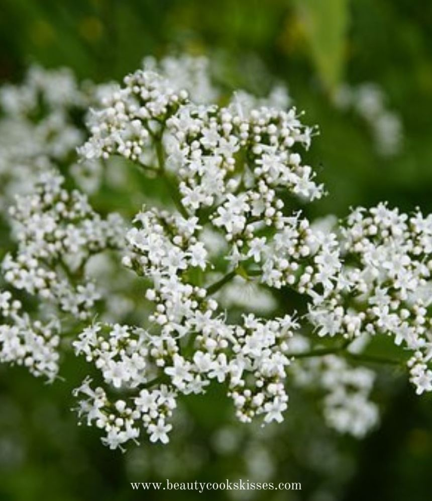 valerian herbs for cats