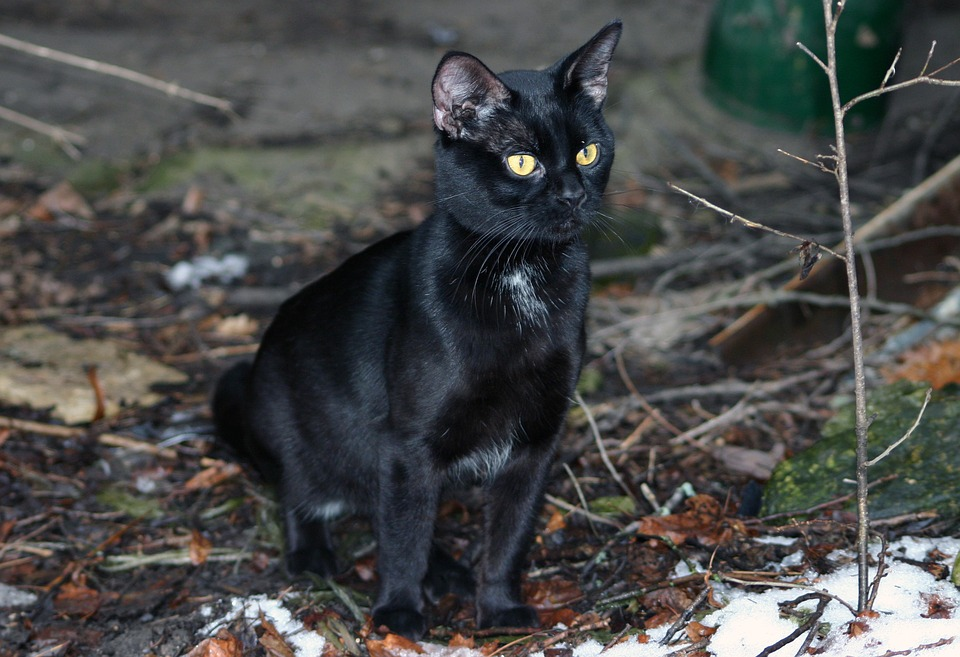Black Cat for Friday the 13th Bad Luck