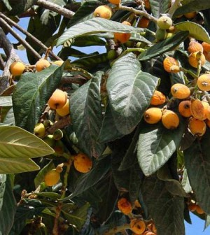 Amazing health benefits of Loquat leaves