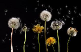 pollen from dandelion