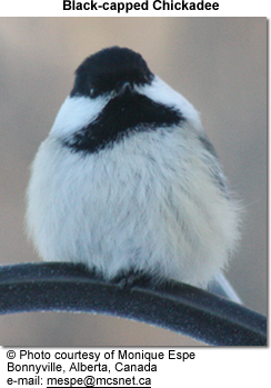 Blackcapped Chickadees  Beauty of Birds