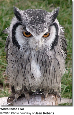 northern white faced owls