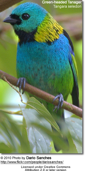 Green Headed Tanagers Beauty Of Birds