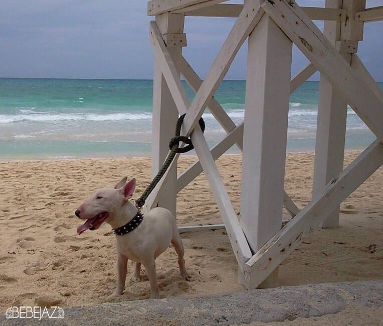 """Chicko's first pic in Boracay – September 2013 """"The island dog"""""""