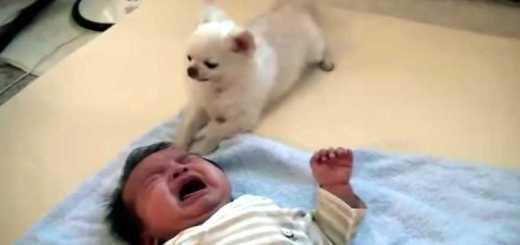 cao tenta acalmar bebe que chora