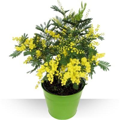 Plantes Mimosa