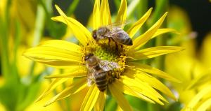 Bienen auf Silphie
