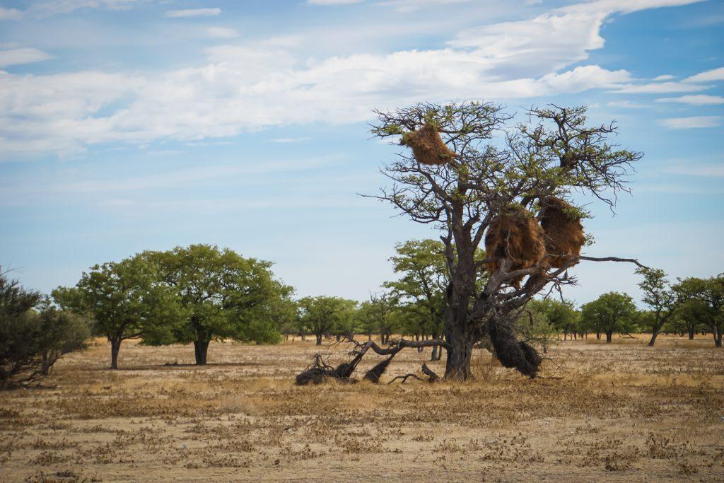 Baumeister der Bäume: Webervögel-Nester