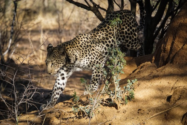 Leopard in Okonjima