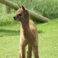 brown cria