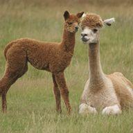 chaska alpaca