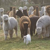 astor with alpacas