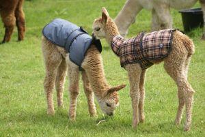 alpacas in coats
