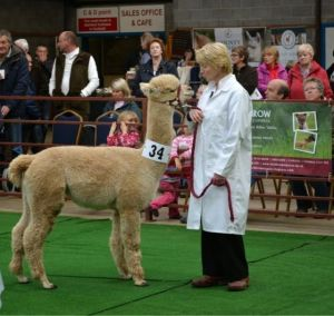 Beck Brow Foxy Sox in 2013 taking Fawn Female Champion