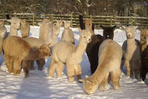 Beck Brow weanlings in the snow
