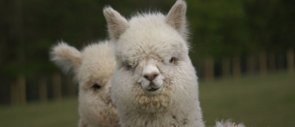 Most Alpacas are Amazing …..A Tale from Beck Brow