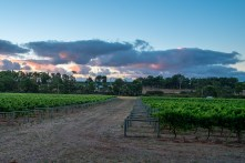 Vineyard with storm clouds