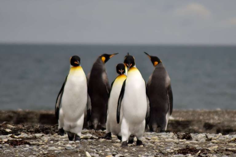 King penguins in Chile - my favouite wildlife experience