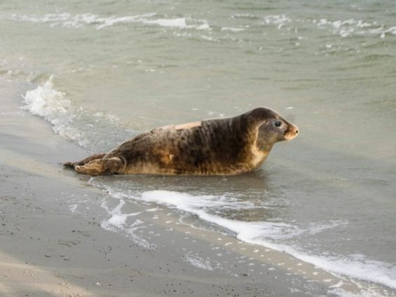 Amazing wildlife experience - releasing seals into the sea in Netherlands