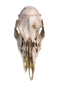 Deer Skull 2