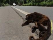 Macaco bugio atropelado na BR262, próximo à Marechal Floriano.