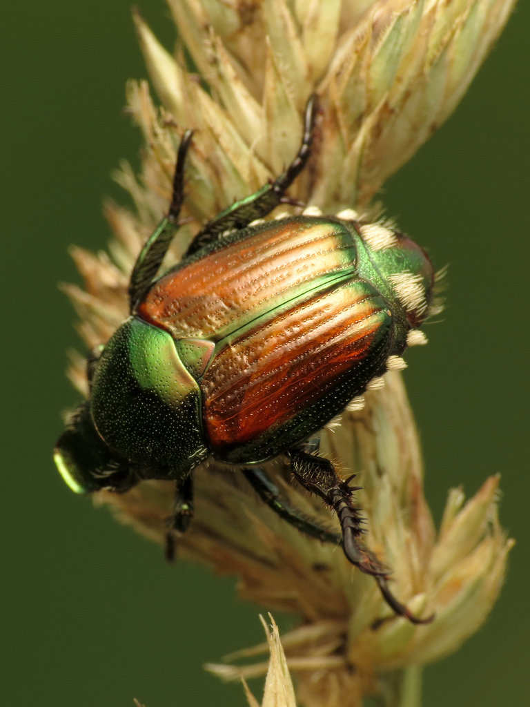 scarabée japonais sherbrooke