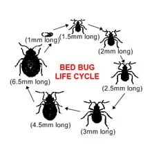 Bed Bug Life Cycle Stages
