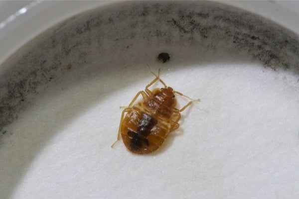 If You Find One Bed Bug Are There More? — Bed Bugs Insider