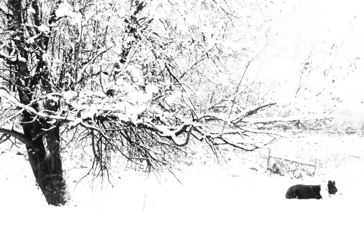 In The Snow Red And The Apple Tree