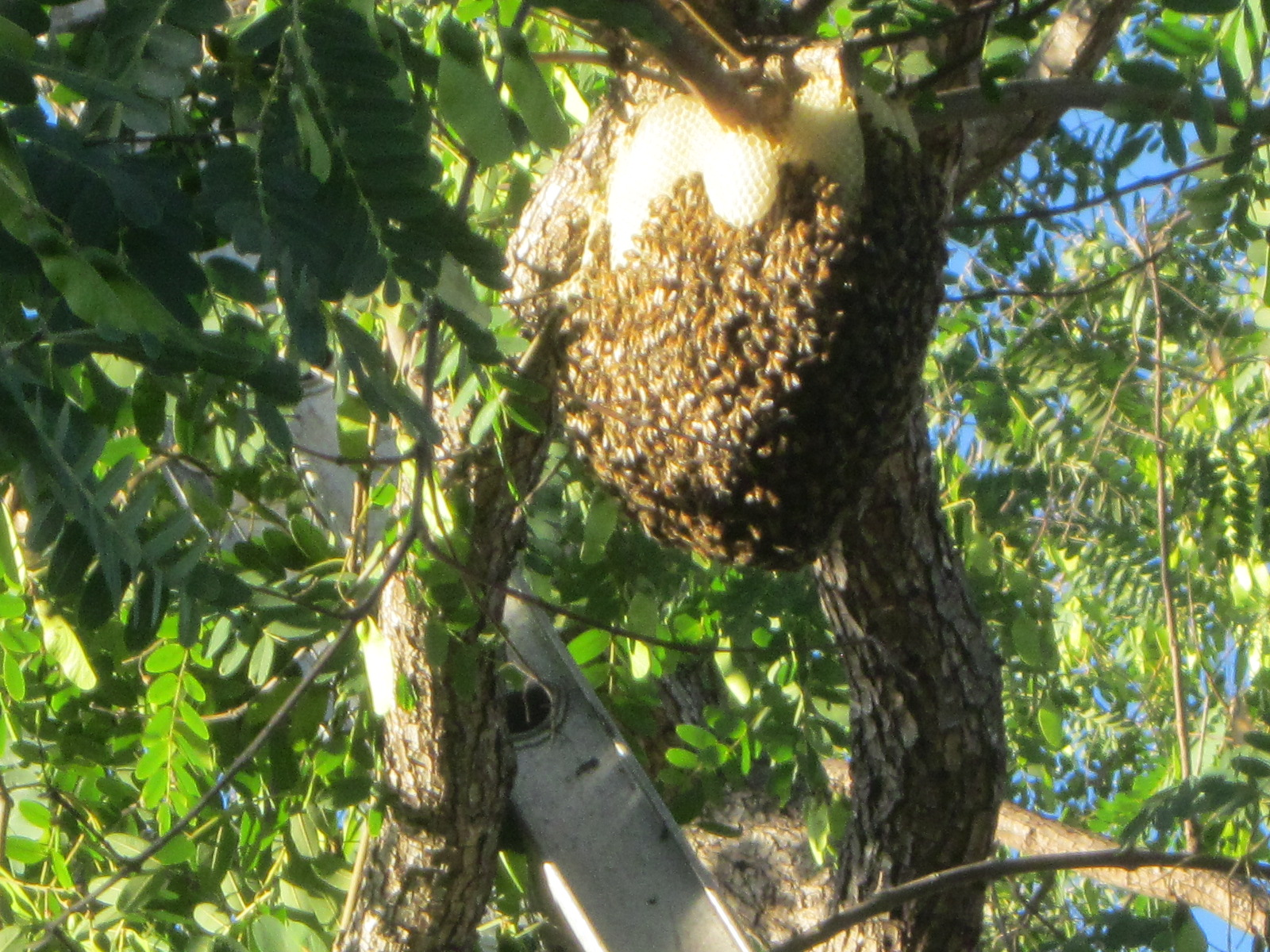 Will Bees In Trees Go Away On Their Own