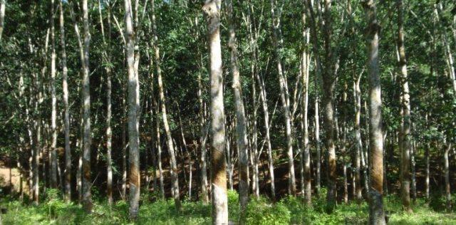 rubber-trees-harvest