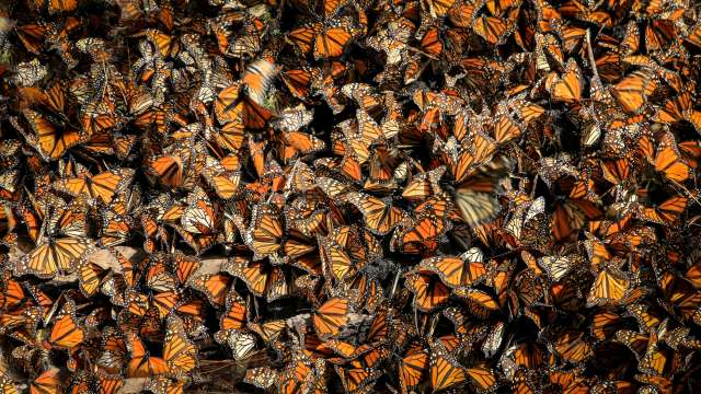 -monarch-butterflies-mexico