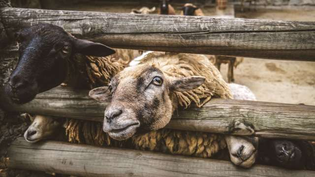 sheeps-looking-through-fence