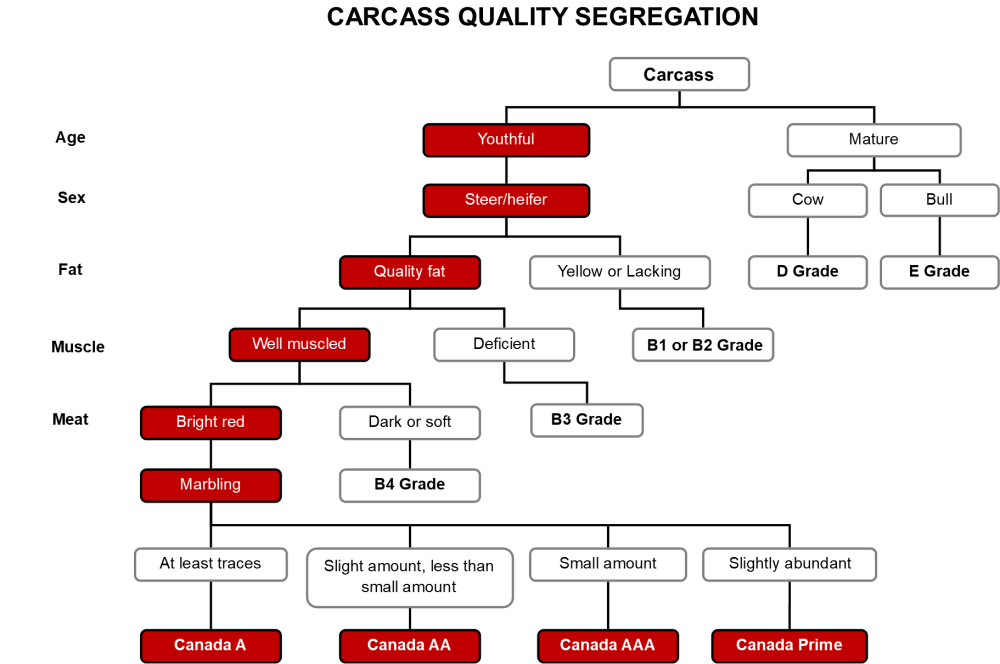 medium resolution of Carcass Grading - Beef Cattle Research Council