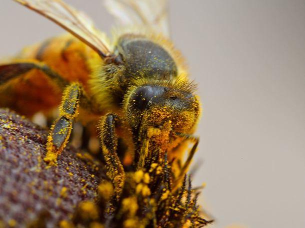 Honeybee polinator