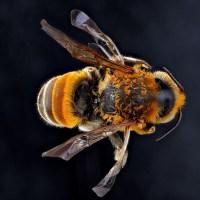 Endangered Hawaii bee