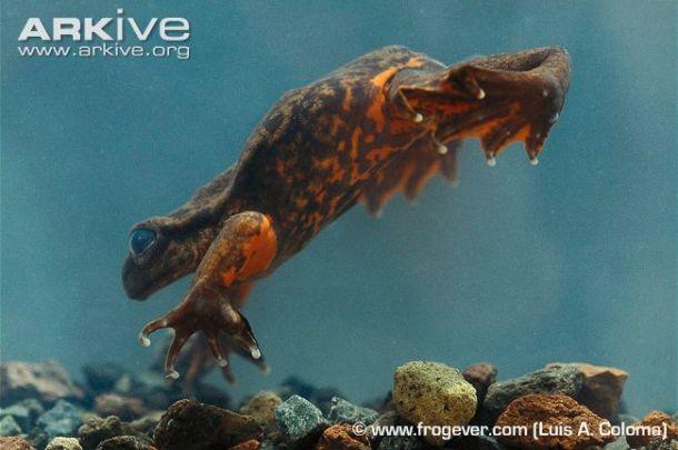 Telmatobius niger