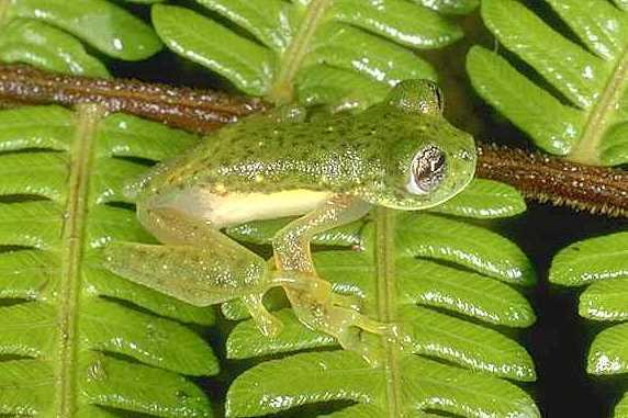 Trueb's Cochran Frog